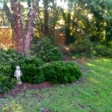 The before of our yard project of removing juniper. Beautiful day spent outside with friends. 9.13.15
